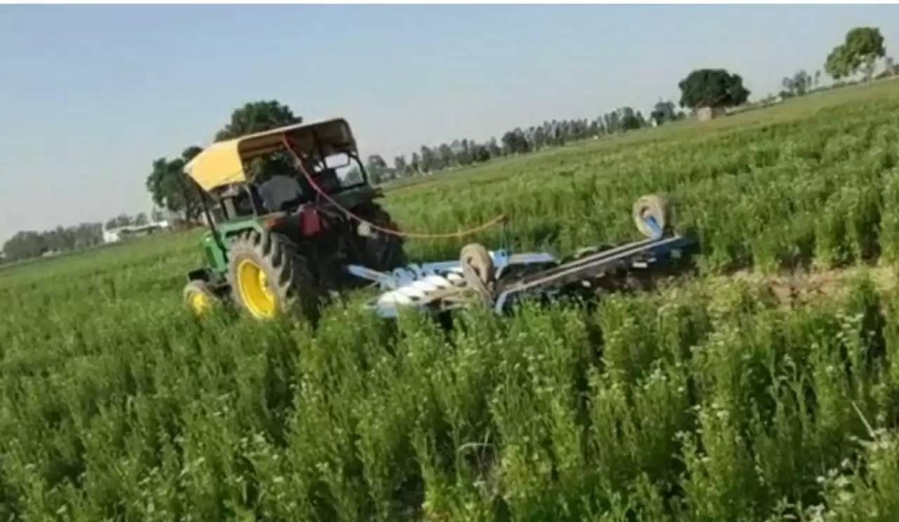 किसान ने धनिए की खड़ी लहलहाती फसल पर चलाया ट्रैक्टर, जानिए वजह ?